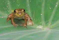 Frontowego widoku zbliżenia żaba fotografia royalty free