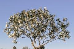 Frontowy czyści strzał kwiatonośny dereniowy drzewo obrazy royalty free