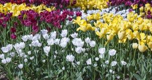 Frontowy ogród z tulipanami Fotografia Stock