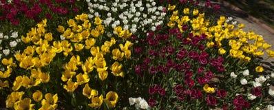 Frontowy ogród z tulipanami Zdjęcia Royalty Free