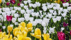 Frontowy ogród z tulipanami Obrazy Royalty Free