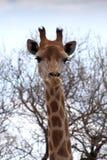 Frontowy portreta obrazek żyrafy głowa Obraz Stock
