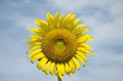 Frontowy słonecznikowy niebieskiego nieba tło Zdjęcie Stock