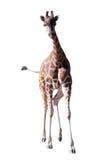 Frontowy widok chodząca żyrafa. Odizolowywający nad bielem Obraz Royalty Free