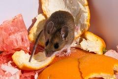 Frontowy widok dzika brown domowa mysz na kopu cytrus struga Obraz Royalty Free