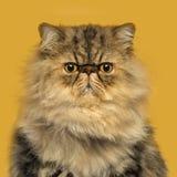 Frontowy widok grumpuy Perskiego kota obsiadanie obraz stock