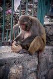 Frontowy widok małpi obsiadanie na ścianie i je chleb Fotografia Stock