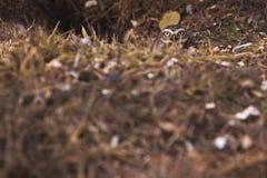 Frontowy widok od grzebie sowy w nasz habbit fotografia royalty free