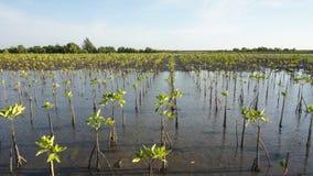 Frontowy widok rzędy mangrowe rośliny które zasadzali na morzu co Zdjęcia Royalty Free