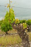 Frontowy widok, zamyka up siedemdziesiąt roczniaka gronowy winograd w Hiszpania fotografia stock