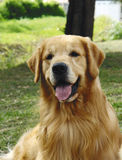 Frontseite des goldenen Apportierhunds Lizenzfreies Stockfoto