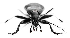 Frontshot de grand coléoptère Photographie stock libre de droits