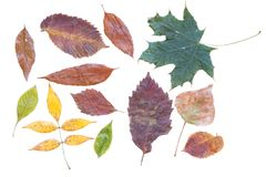 Frontside de las hojas de otoño adentro en un fondo blanco limpio Fotografía de archivo