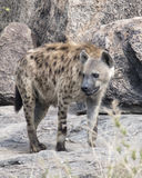 Frontview ενός hyena που στέκεται σε έναν βράχο Στοκ φωτογραφίες με δικαίωμα ελεύθερης χρήσης