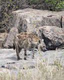 Frontview гиены стоя на утесе Стоковое фото RF