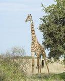 Frontview одиночного жирафа готовя дерево с голубым небом в предпосылке Стоковые Фотографии RF