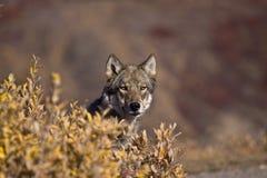 волк frontview осени Стоковая Фотография