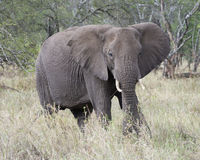 Frontview of adult elephant with tusks feeding on grass Stock Photo