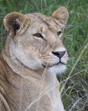 Frontview closeup of the face of a lioness with mouth closed and eyes open Stock Image