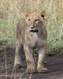 Frontview closeup of young lioness standing on dirt Royalty Free Stock Image
