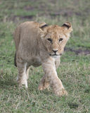 Frontview Closeup of young lioness walking in green grass Stock Images