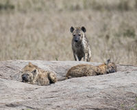 Frontview d'une hyène se tenant sur une roche avec deux hyènes dormant dans le premier plan Image libre de droits
