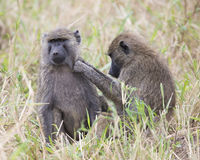 Frontview de un babuino adulto que se sienta en hierba con un sideview de un 2do babuino que prepara su área izquierda del hombro Foto de archivo