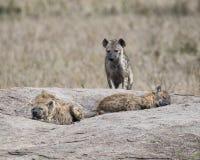 Frontview de una hiena que se coloca en una roca con dos hienas que duermen en el primero plano Imagen de archivo libre de regalías