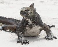 Frontview do close up de uma iguana marinha em um Sandy Beach branco Imagem de Stock Royalty Free