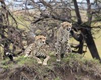 Frontview due del ghepardo dell'adulto, uno che si siedono ed uno che si trova sopra un'erba ha coperto il monticello Fotografia Stock