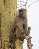 Frontview eines erwachsenen Pavians, der in einem Acai-Baum sitzt Lizenzfreies Stockfoto