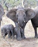 Frontview eines Mutterelefanten mit zwei Babyelefanten stockbild