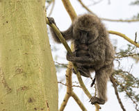 Frontview eines Mutterpavians, der ihr Kind in einem Acai-Baum pflegt Lizenzfreie Stockfotos