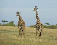 Frontview giraffe δύο που στέκεται το ένα εκτός από το άλλο στη χλόη Στοκ Εικόνα