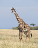 Frontview of a giraffe standing in grass with blue sky in background Stock Photos