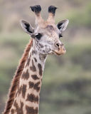 Frontview of the head of a Masai Giraffe looking directly at you. In the Serengeti National  Park, Tanzania Royalty Free Stock Images