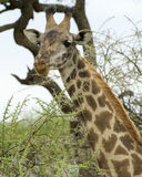 Frontview of the head of a Masai Giraffe looking directly at you. In the Serengeti National  Park, Tanzania Stock Photos