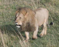 Frontview of large male lion walking toward camera through grass Stock Image