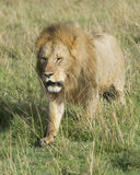 Frontview of large male lion walking toward camera through grass Stock Photography