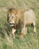 Frontview of large male lion walking toward camera through grass Royalty Free Stock Photography
