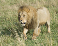 Frontview of large male lion walking toward camera through grass Stock Images