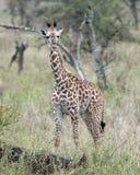 Frontview Masai żyrafy pozycja w trawie Fotografia Royalty Free