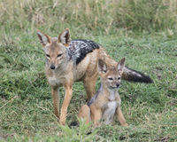 Frontview mother black-backed jackal standing with cub sitting at her side in green grass Stock Image