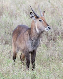 Frontview of one male Waterbuck standing in grass with head raised Royalty Free Stock Photos