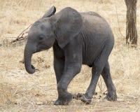 Frontview que camina del elefante joven Fotografía de archivo