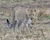 Frontview of a single adult Leopard walking in grass looking forward Royalty Free Stock Image