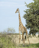 Frontview of single giraffe standing by a tree with blue sky in background Royalty Free Stock Photos