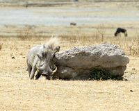 Frontview of a single warthog rubbing his side on a large rock royalty free stock photos
