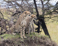 Frontview of two adult cheetah sitting on top of a grass covered mound. Closeup two adult cheetah sitting on top of a grass covered mound in the Masai Mara Stock Photo