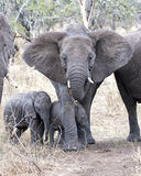 Frontview van een moederolifant met twee babyolifanten stock afbeelding